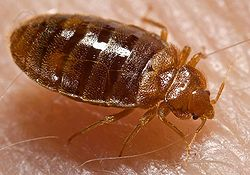 FAQs about Bed Bugs from Steve's Termite and Pest Control in Sarasota, FL