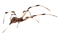 FAQs about Black and Brown Widow Spiders from Steve's Pest Control in Sarasota, FL