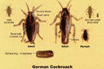 Safe Pest Control Services Prevent Cockroaches and German Cockroaches for Sarasota to Dunedin, FL