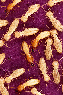 FAQs about Subterranean Termites from Steve's Termite and Pest Control in Sarasota, FL